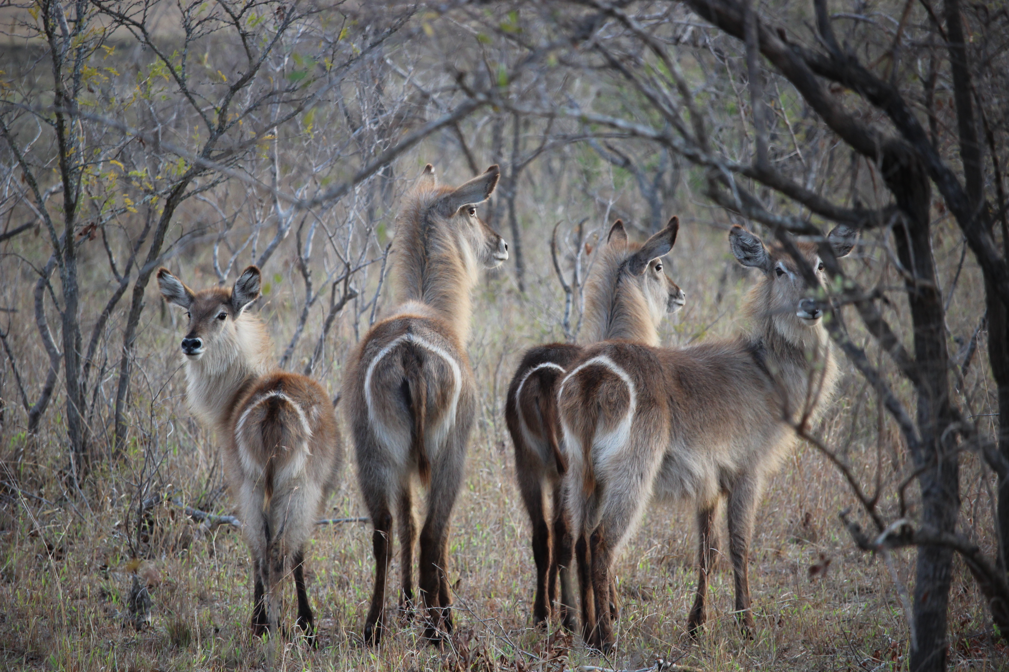 waterbucks-at-dawn_21502200101_o